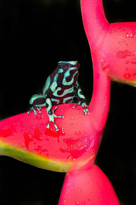Green And Black Poison Dart Frog Poster