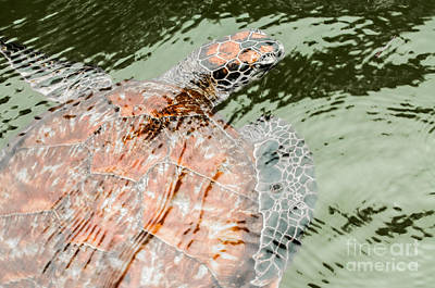 Green Sea Turtle  Poster by Jacques Jacobsz