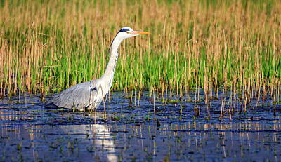 Grey Heron, Ardea Cinerea, In A Pond Poster