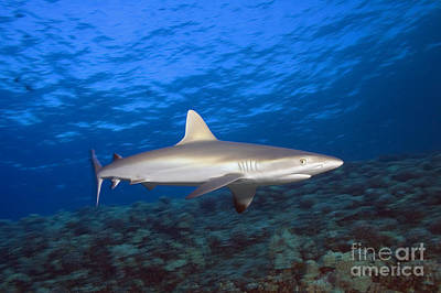 Grey Reef Shark Poster by Dave Fleetham - Printscapes