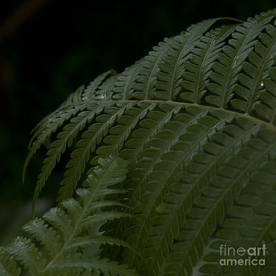 Hapuu Pulu Hawaiian Tree Fern  Poster