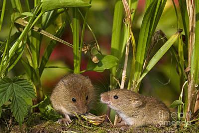 Harvest Mice Eating Grasshopper Poster by Jean-Louis Klein & Marie-Luce Hubert