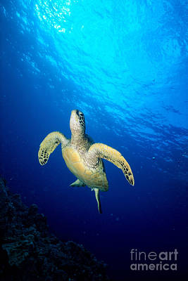 Hawaii, Green Sea Turtle Poster by Ed Robinson - Printscapes