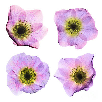 Hellebore Flowers, X-ray Poster by Ted Kinsman