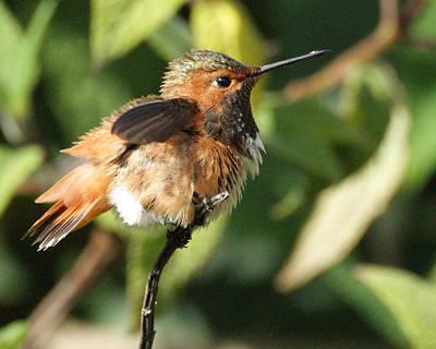 Hummingbird 2 Poster by Darlene Watters