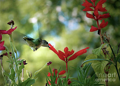 Hummingbird Delight Poster by Sue Stefanowicz