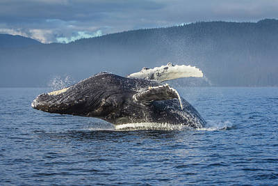 Humpback Whale Breaching In Chatham Strait Poster by Wild Montana Images