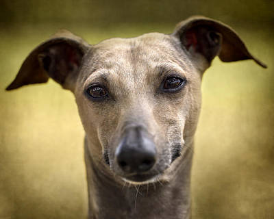 Italian Greyhound Portrait 2 Poster by Wolf Shadow Photography