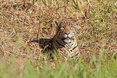 Jaguar Watching Poster