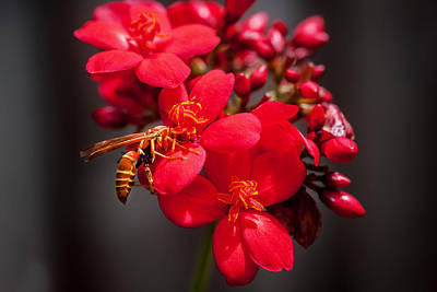 Jatropha Blossoms Wasp Painted Bw Poster by Rich Franco