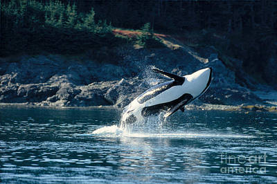 Jumping Orca Poster by John Hyde - Printscapes