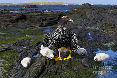 Kelp Goose With Goslings Poster by Jean-Louis Klein & Marie-Luce Hubert