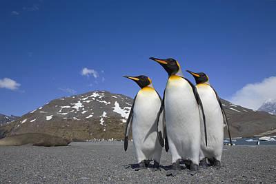 King Penguin Aptenodytes Patagonicus Poster by Ingo Arndt