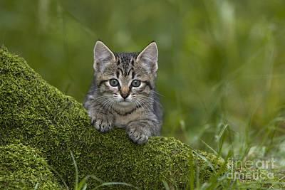 Kitten On A Mossy Tree Poster by Jean-Louis Klein & Marie-Luce Hubert