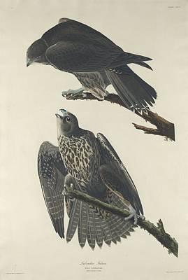 Labrador Falcon Poster by Rob Dreyer