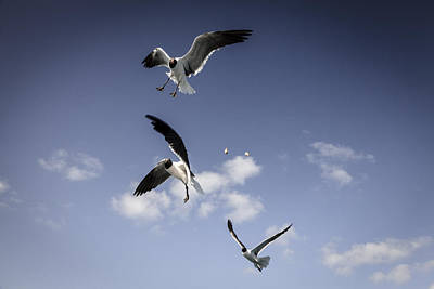 Laughing Gulls Poster by Alexey Stiop