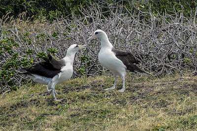 Laysan Albatross Hawaii #2 Poster