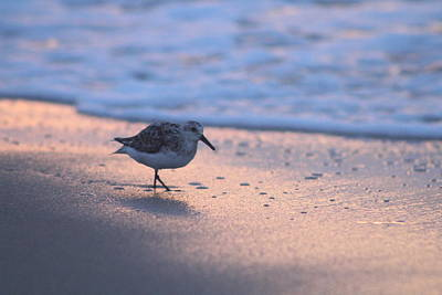 Poster featuring the photograph Least Sandpiper At Dawn by Robert Banach