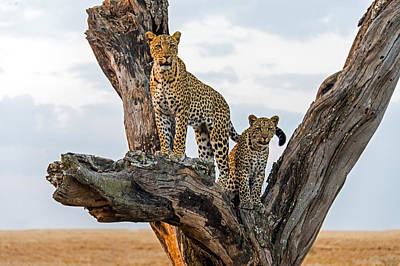 Leopard Panthera Pardus Family On Tree Poster by Panoramic Images