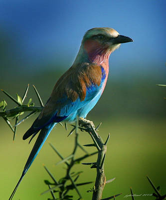 Lilac Breasted Roller Poster by Joseph G Holland