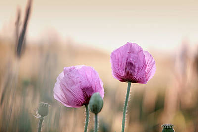 Lilac Poppy Flowers Poster