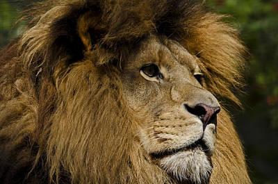 Lion Gaze Poster