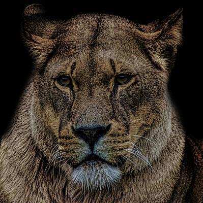 Lion Portrait Poster by Martin Newman