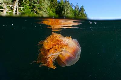 Lions Mane Jellyfish Swimming Poster by Paul Nicklen