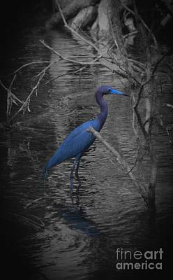Little Blue Heron Poster by Skip Willits
