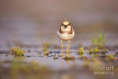 Little Ringed Plover Charadrius Dubius Poster by Alon Meir
