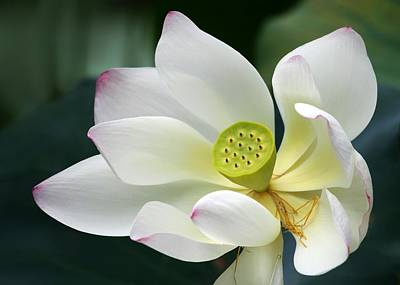 Lotus Diva Poster by Sabrina L Ryan
