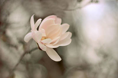 Magnolia In Bloom Poster by Jessica Jenney