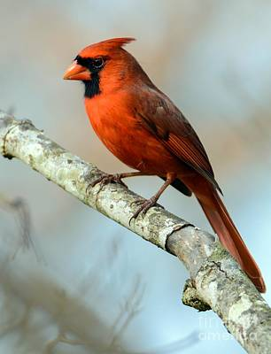 Male Cardinal Poster by Debbie Green