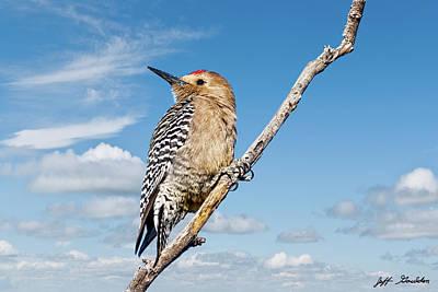 Male Gila Woodpecker Poster