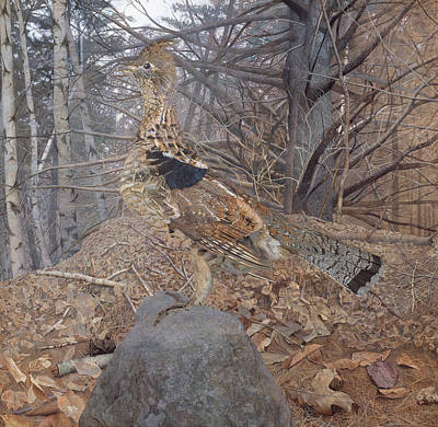 Male Ruffed Grouse In The Forest Poster by Gerald Thayer