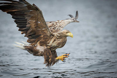 Male White-tailed Eagle Poster by Andy Astbury