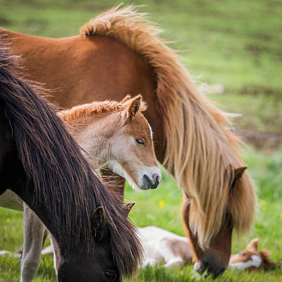 Mare And New Born Foal, Iceland Poster