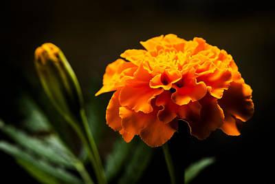 Marigold Flower Head Poster by Donald  Erickson