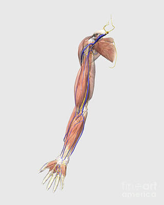 Medical Illustration Of Human Arm Poster