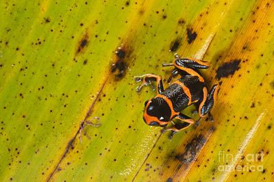 Mimic Poison Arrow Frog Poster