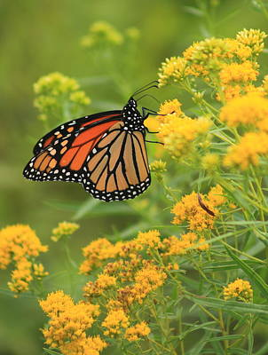 Monarch Butterfly On Goldenrod Poster by John Burk