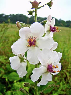 Moth Mullein Wildflowers - Verbascum Blattaria Poster
