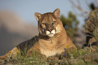 Poster featuring the photograph Mountain Lion Portrait North America by Tim Fitzharris