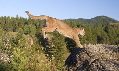 Mountain Lion Puma Concolor Jumping Poster by Matthias Breiter