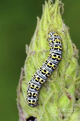 Mullein Moth Caterpillar Poster