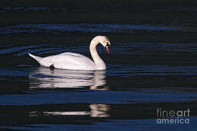 Poster featuring the photograph Mute Swan  by Sharon Talson