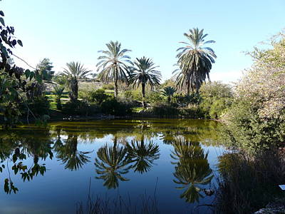 Neot Kedumim-palm Trees Poster