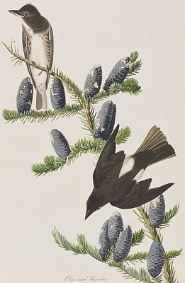 Olive Sided Flycatcher Poster by John James Audubon