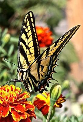 Oregon Swallowtail Butterfly  Poster by Brent Sisson