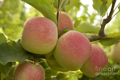Organic Pink Lady Apples Poster
